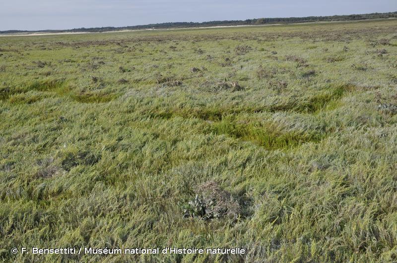 1310 - Végétations pionnières à <em>Salicornia</em> et autres espèces annuelles des zones boueuses et sableuses - Cahiers d'habitats