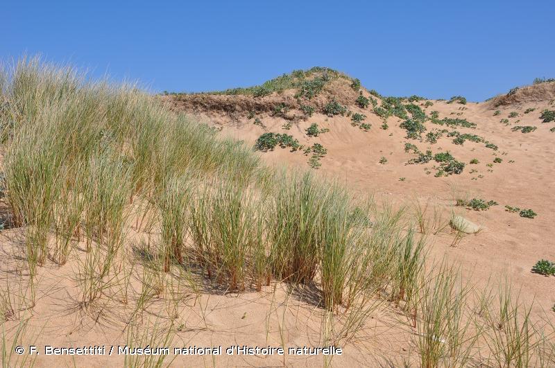"""2120 - Dunes mobiles du cordon littoral à <em>Ammophila arenaria</em> (""""dunes blanches"""") - Habitats d'intérêt communautaire"""