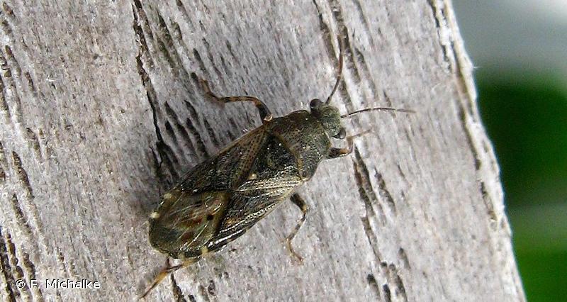 Heterogaster urticae
