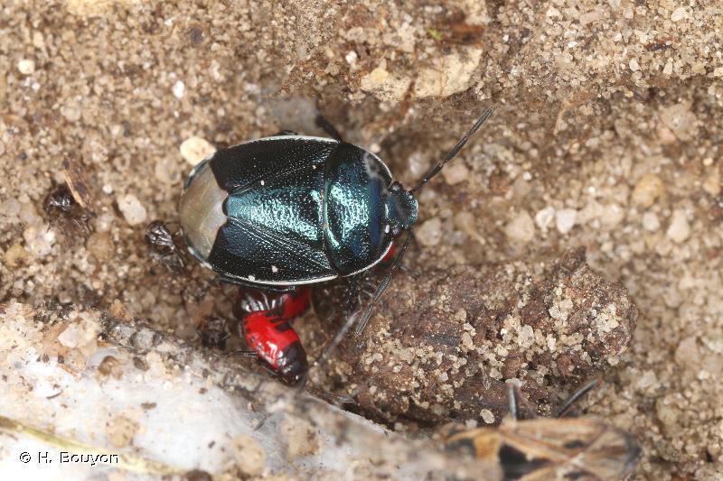 Canthophorus impressus