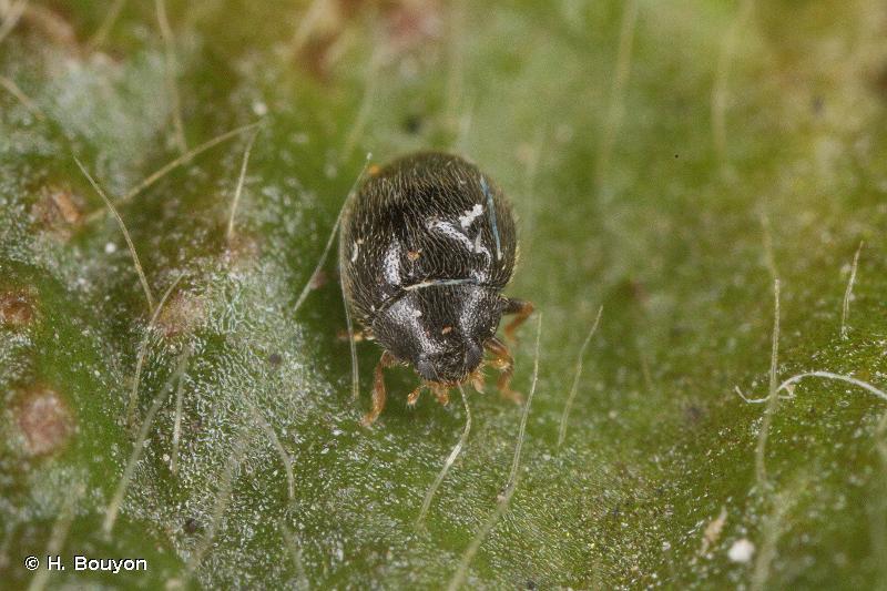 Stethorus pusillus