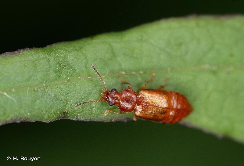 Eusphalerum longipenne