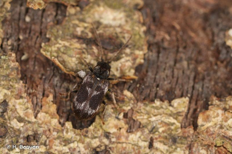 Ptinomorphus regalis