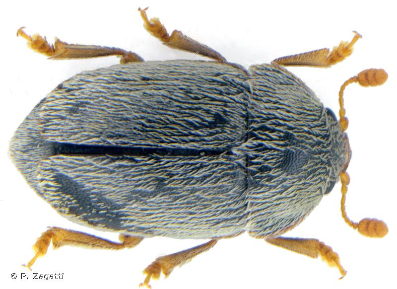 Xenostrongylus deyrollei