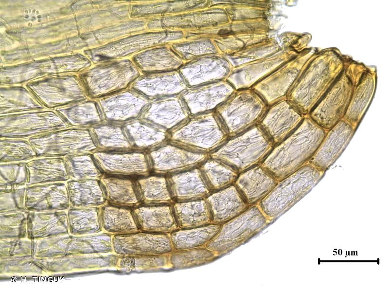 Dicranum tauricum