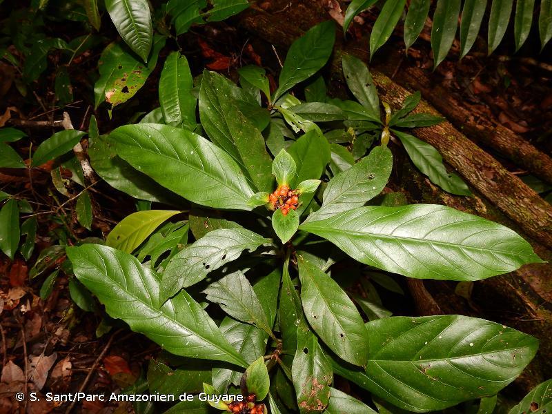 Carapichea guianensis