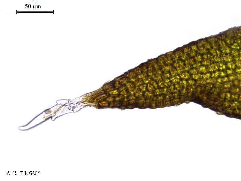 Grimmia elongata
