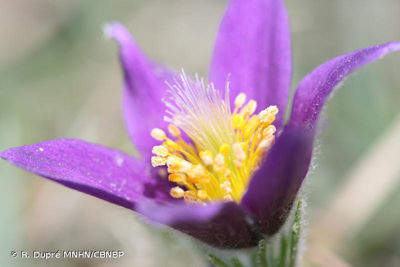 Anemone pulsatilla subsp. pulsatilla