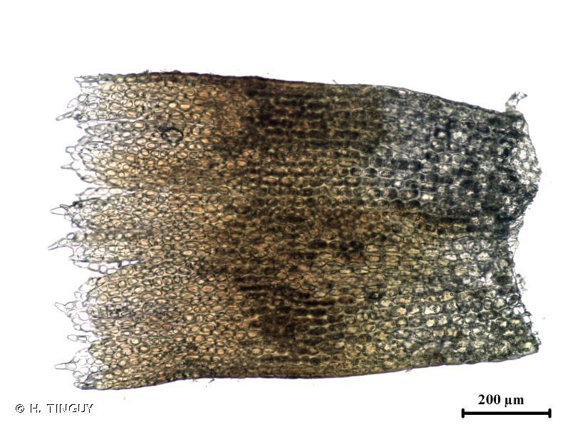 Isopaches bicrenatus