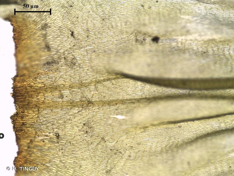 Loeskeobryum brevirostre