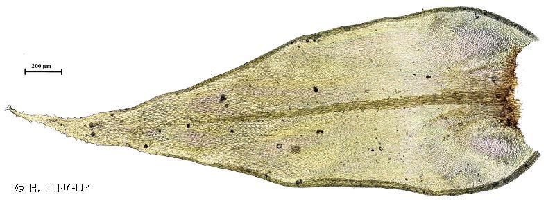 Antitrichia curtipendula