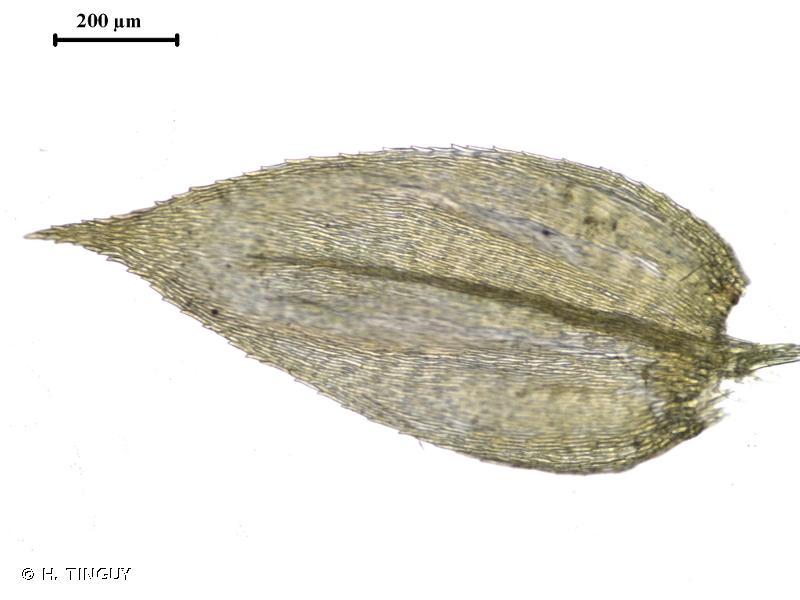 Rhynchostegium confertum