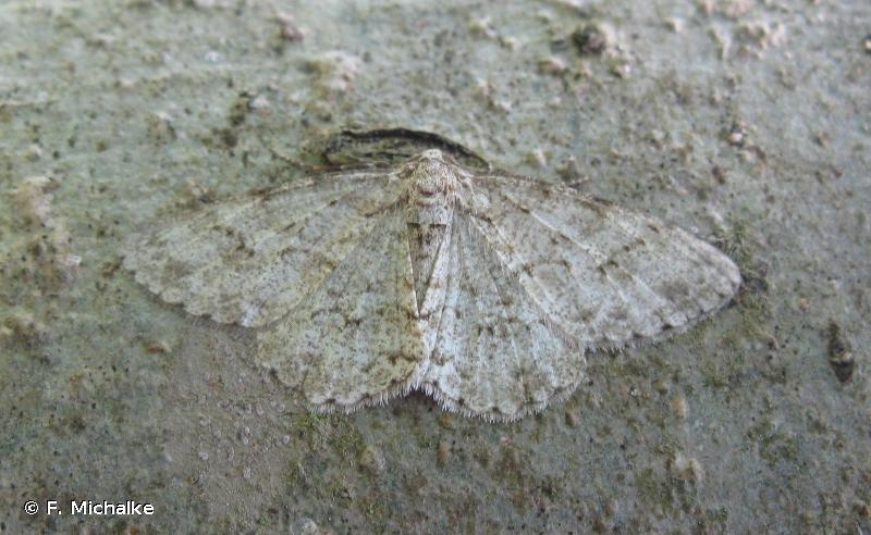 Ectropis crepuscularia