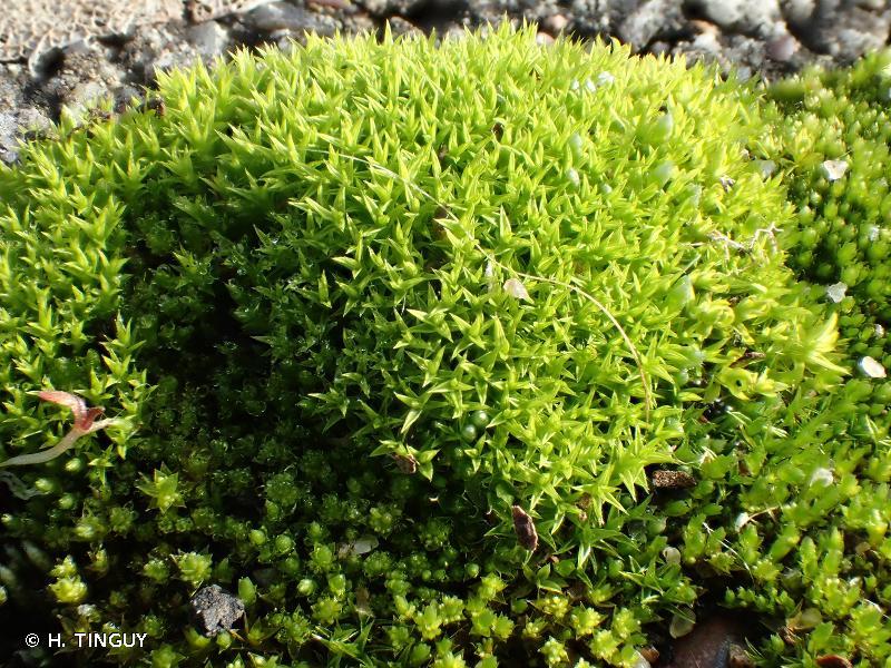 Pseudocrossidium hornschuchianum