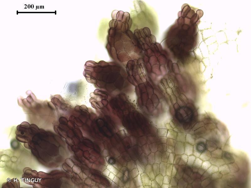 Sphaerocarpos texanus