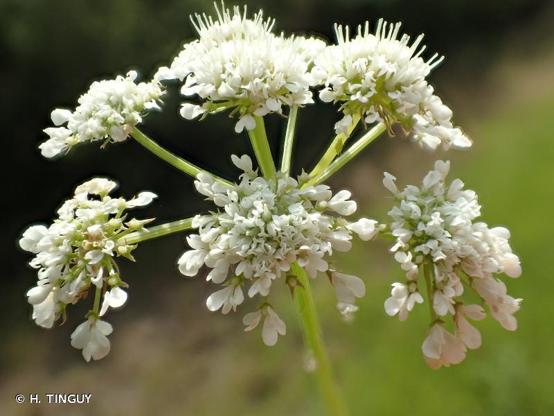 Oenanthe pimpinelloides
