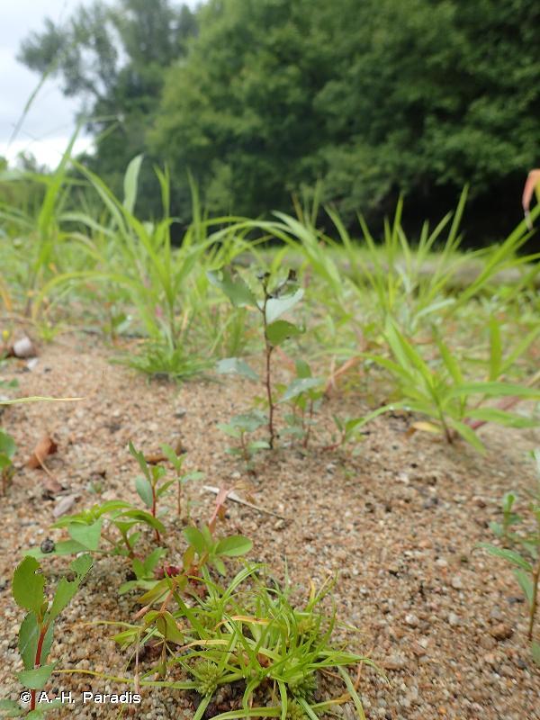 <em>Ilysantho attenuatae - Cyperetum micheliani</em> Corill. 1971 - Prodrome des végétations de France décliné (PVF2)