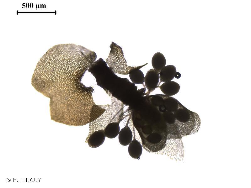 Marsupella emarginata