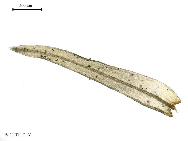Orthotrichum pulchellum