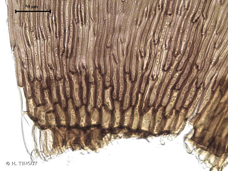 Scorpidium revolvens