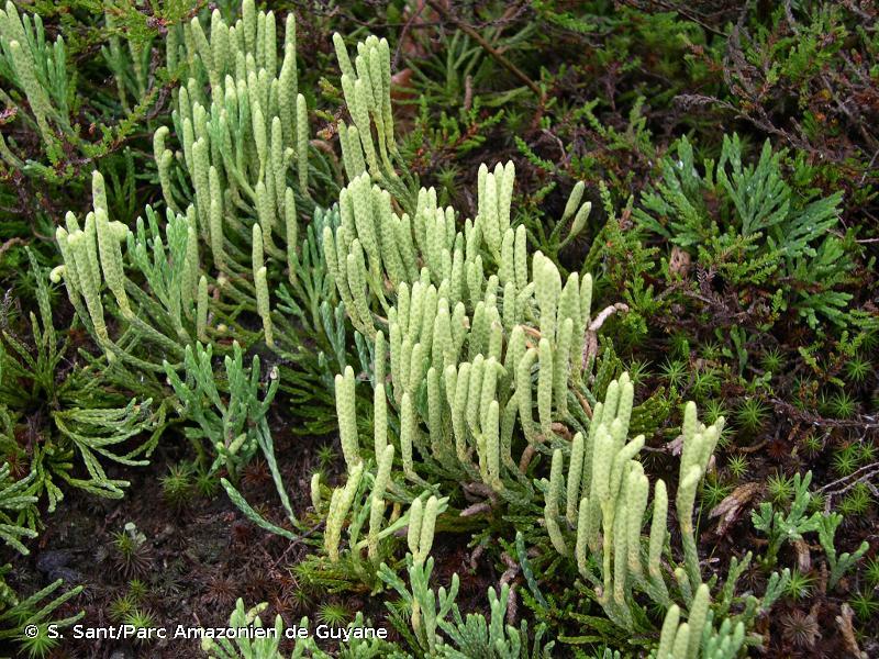 Lycopodium oellgaardii
