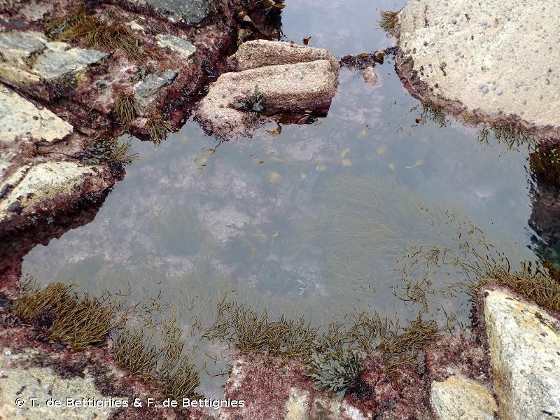 A1.412 - Fucales et laminaires des cuvettes médiolittorales profondes - EUNIS
