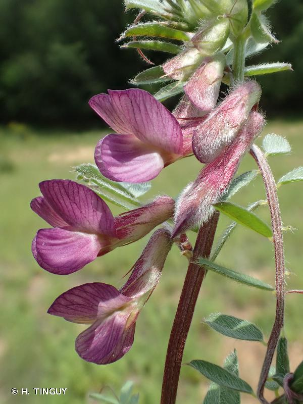 Vicia pannonica