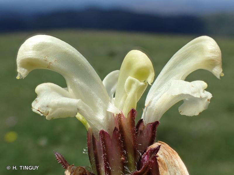 Pedicularis comosa