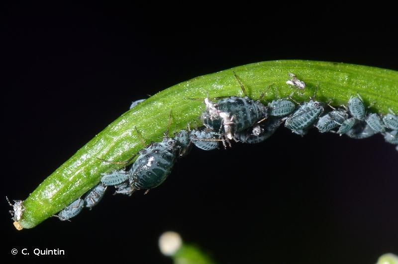 Lipaphis alliariae