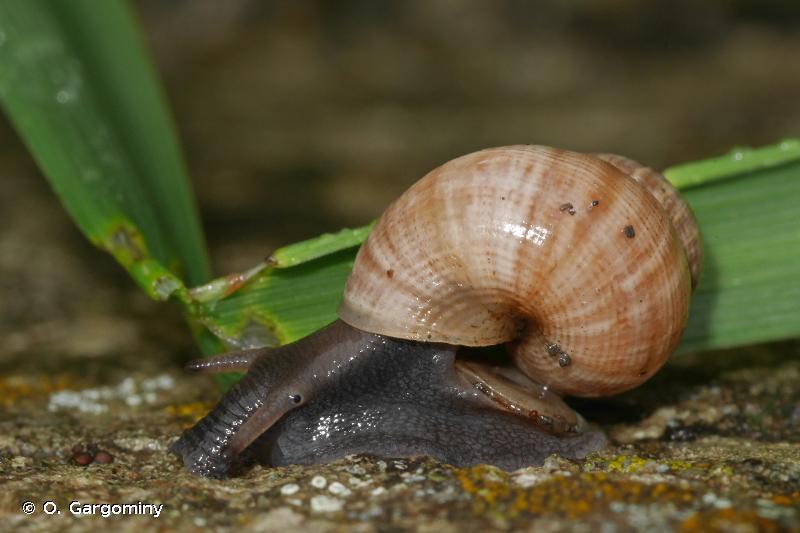 Pomatias elegans