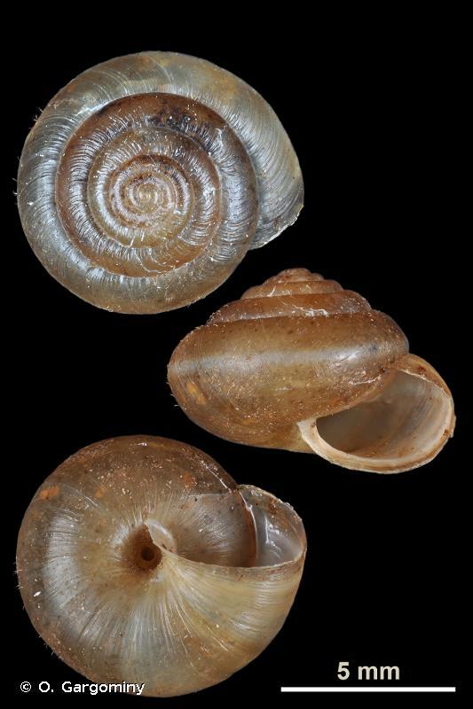 Trochulus plebeius