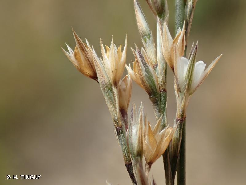 Bufonia paniculata