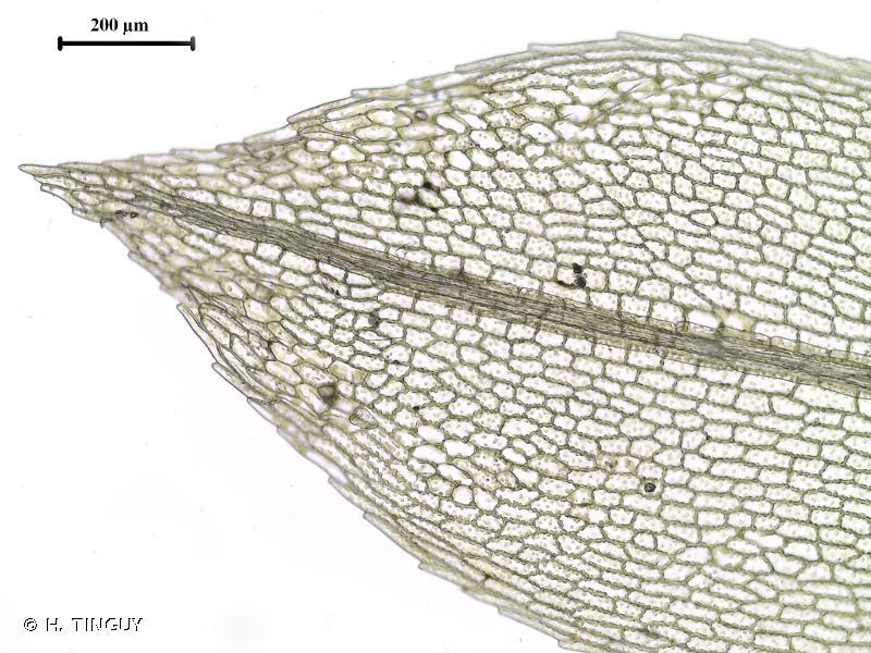 Physcomitrium eurystomum