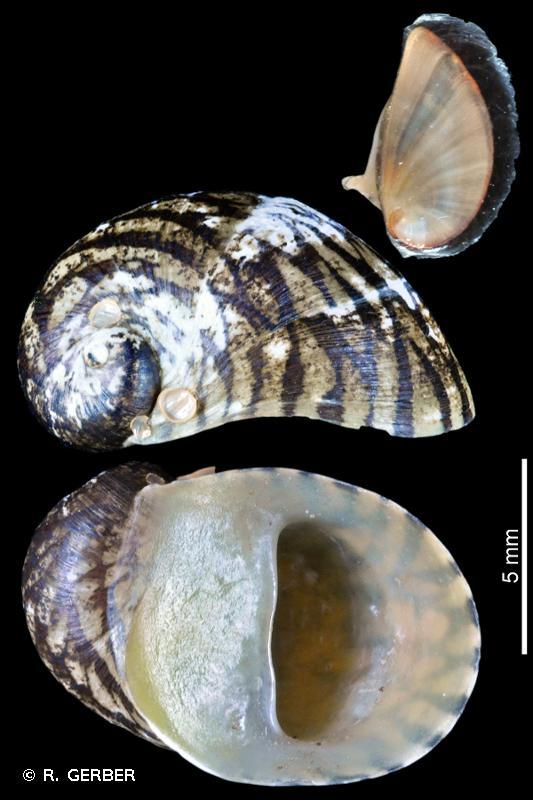 Theodoxus fluviatilis