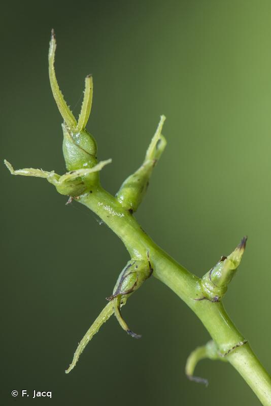 Macaranga attenuata