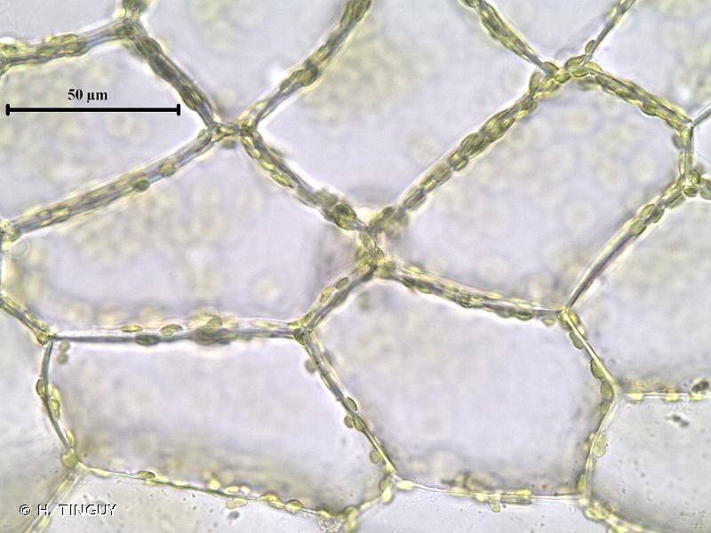Fuscocephaloziopsis connivens