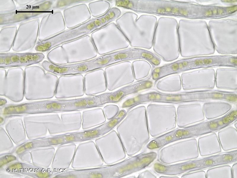 Sphagnum riparium