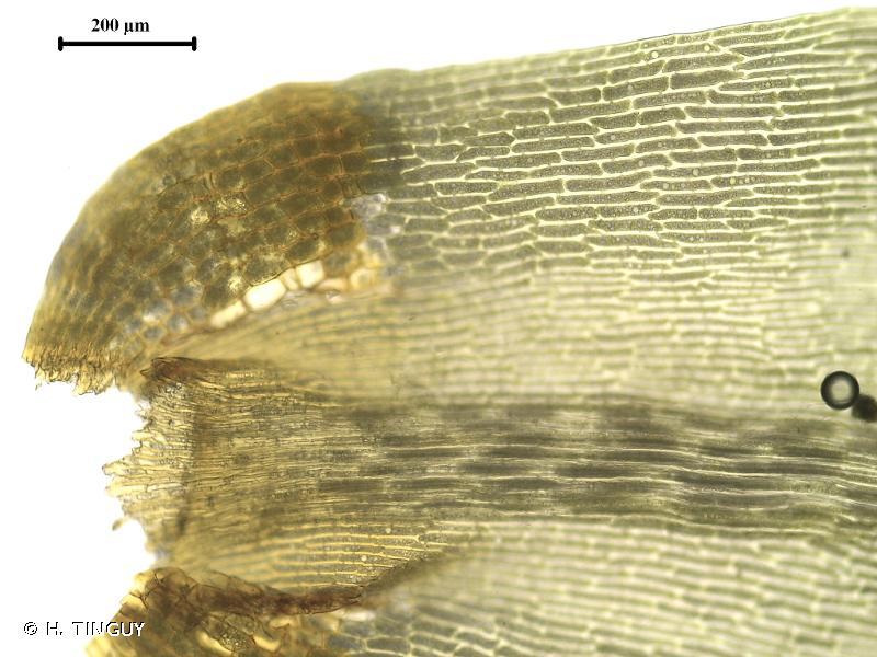 Dicranum scoparium