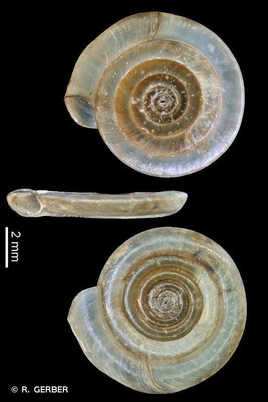 Anisus vortex