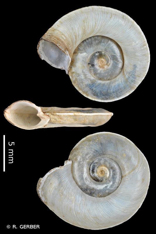 Planorbis carinatus
