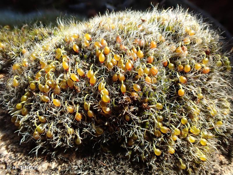 Grimmia orbicularis