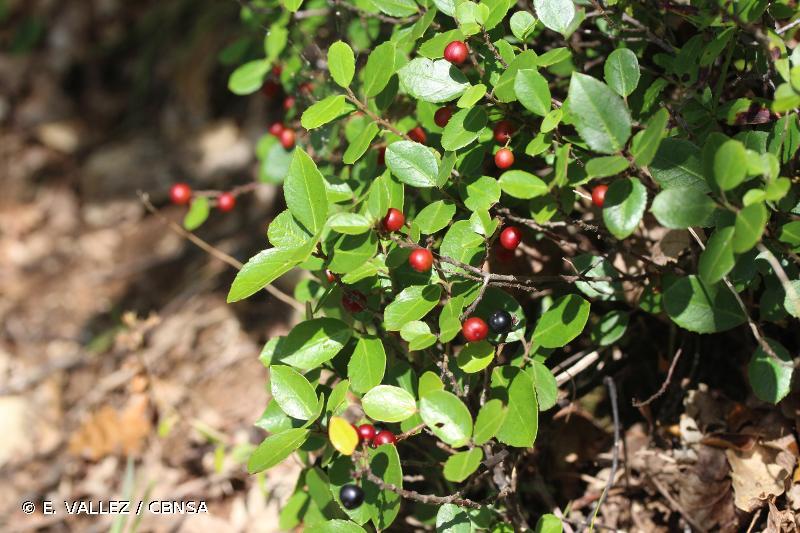 Rhamnus alaternus