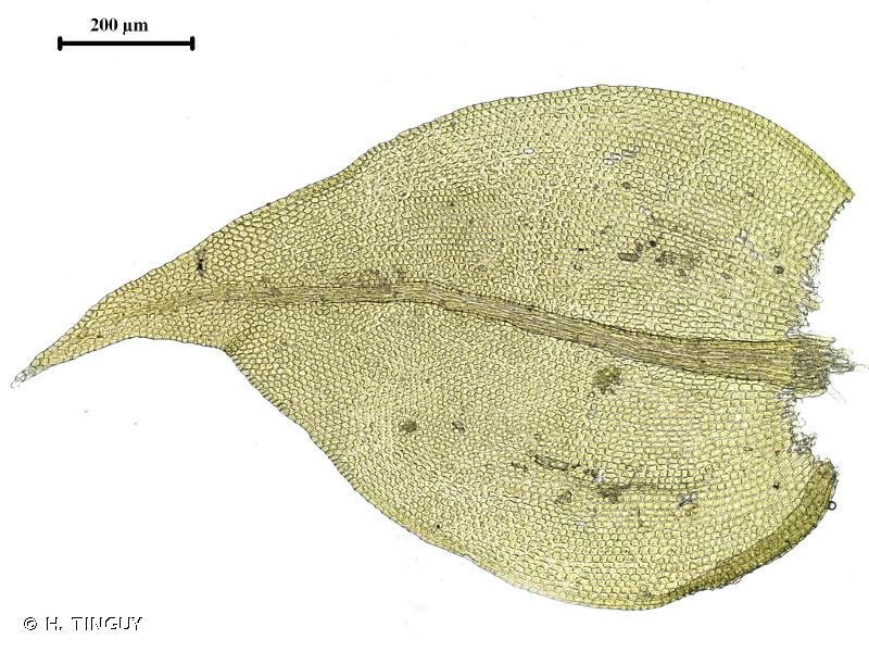 Leskea polycarpa