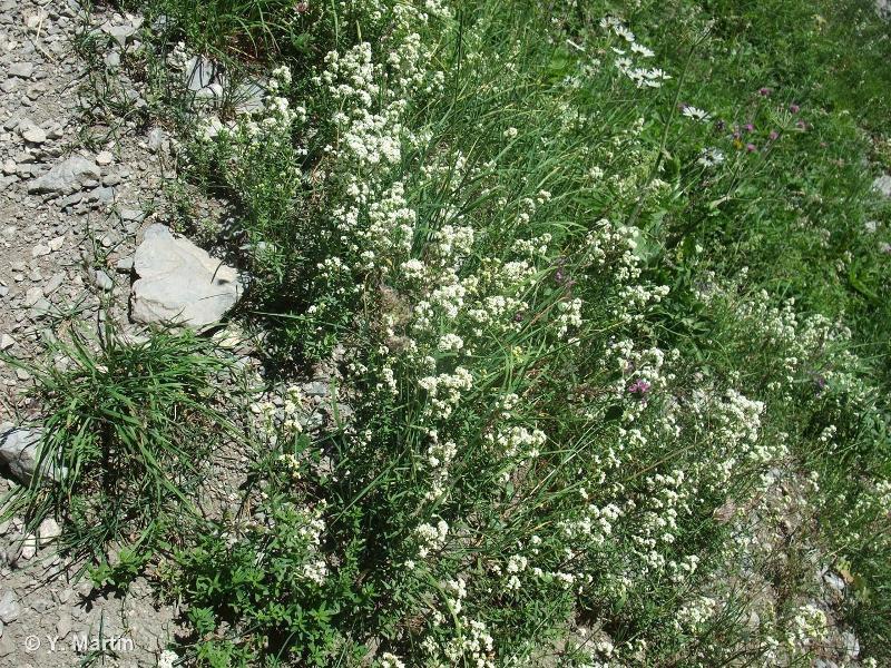 Galium boreale