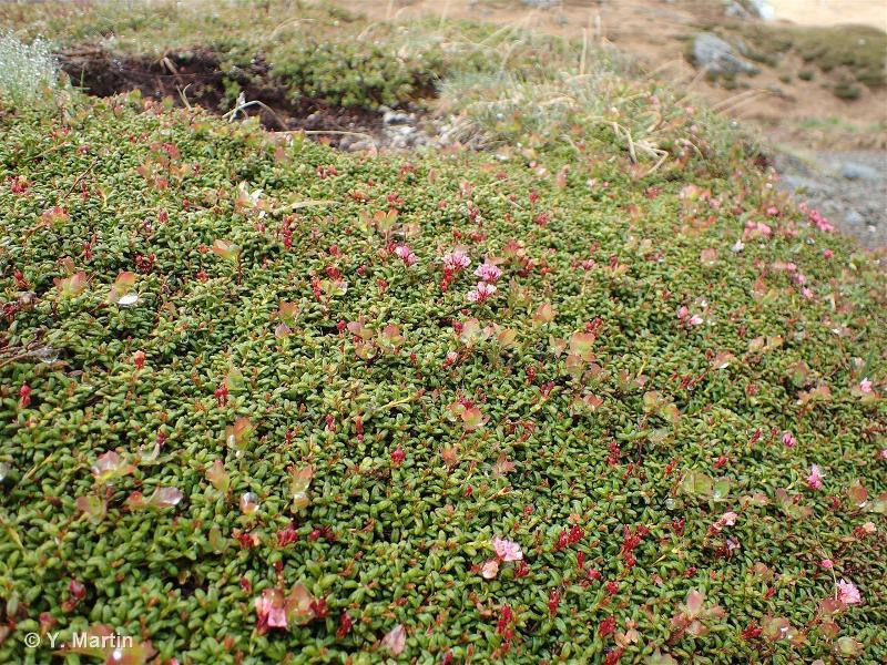 Kalmia procumbens