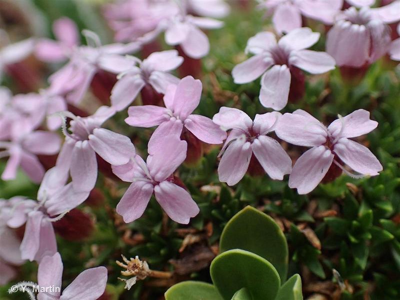 Silene acaulis subsp. bryoides