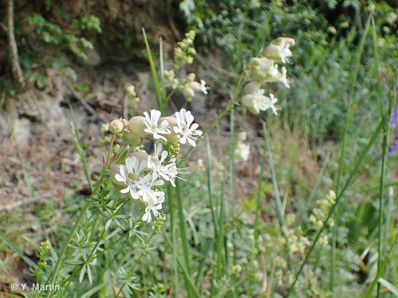 Silene vulgaris subsp. vulgaris
