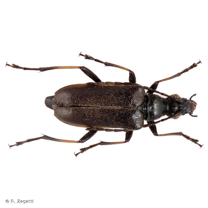Acmaeops marginatus