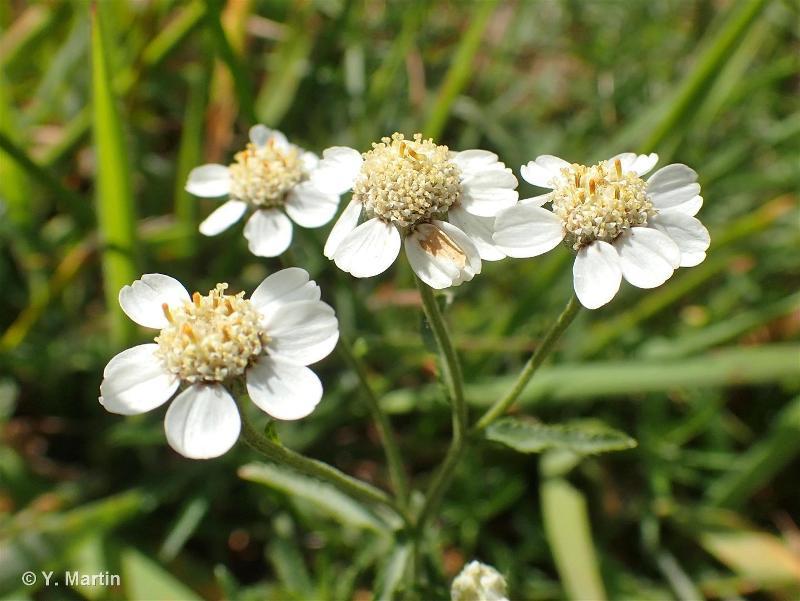 Achillea ptarmica subsp. ptarmica
