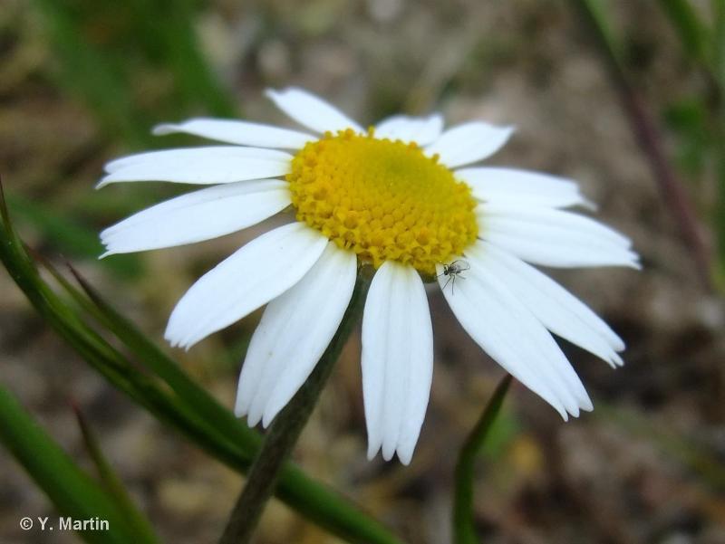 Anthemis arvensis subsp. arvensis